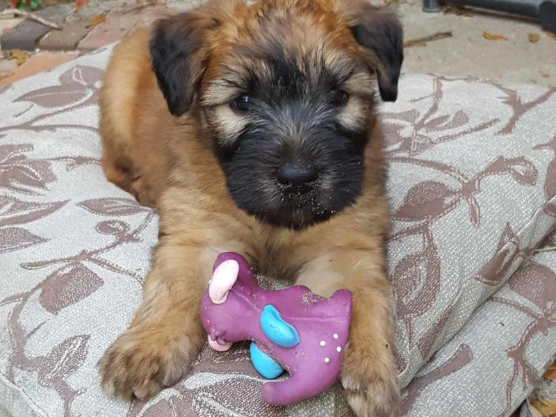 Puppy From Litter 2016