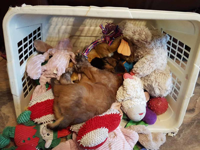 Puppy in her toy box - 2016